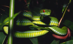 A ruby-eyed pit viper is shown, but the officials in Pennsylvania did not specify which species was found dead.