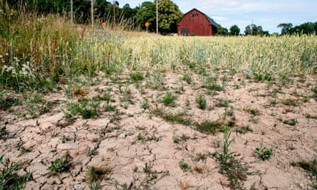 A blighted wheat field in Täby, central Sweden.