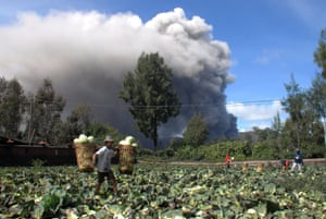 Farmers harvest cabbages while the Mount Bromo volcano spews clouds of ash in  Probolinggo, East Java, Indonesia