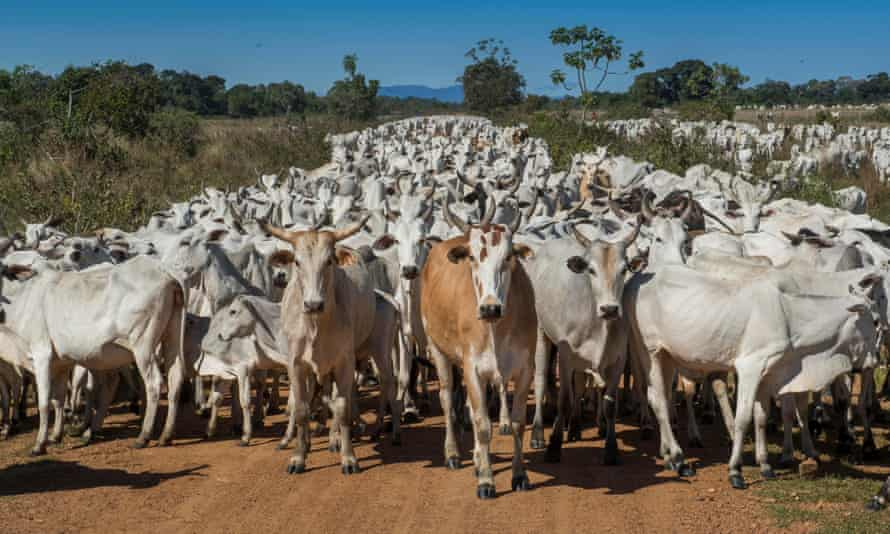 Cattle, Pantanal, Mato Grosso do Sul