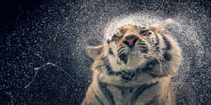 A wet tiger shakes itself in a portrait from a collection by photographer Tim Flach on show at the Retina Scottish international photography festival