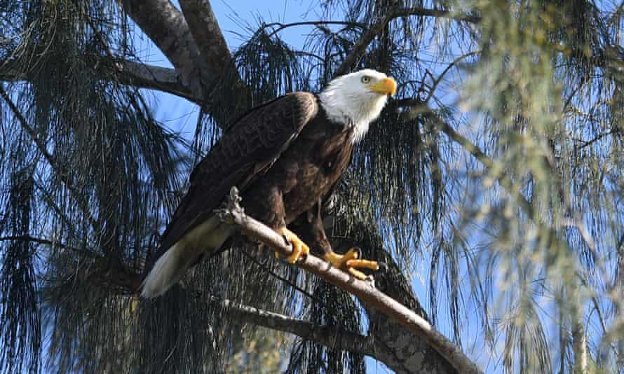 An American bald eagle is seen on edge of the Florida Everglades at Pembroke Pines last month. Eagle numbers in the US quadrupled between 2009 and 2019, leading to their removal from the endangered species list.
