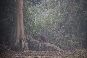 Kaja Island, Indonesia: An orangutan is seen amid thin haze from forest fires