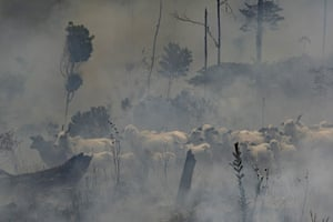A herd of cattle stand in smoke from the fires in the Nova Fronteira region.