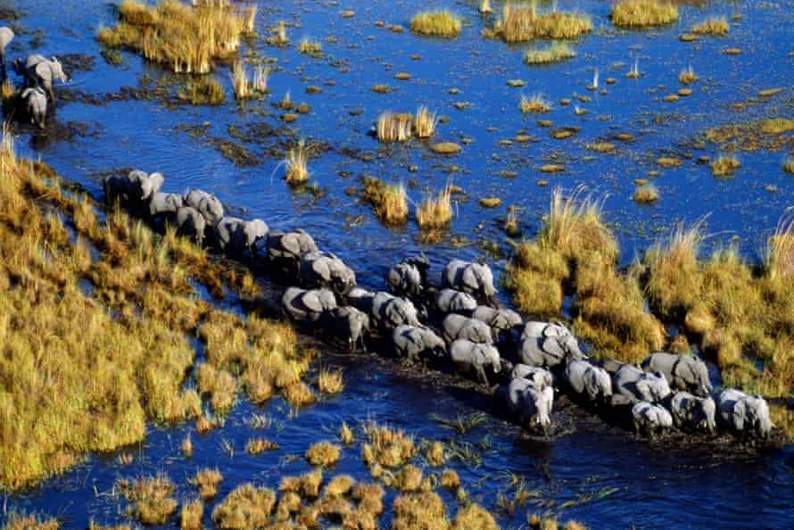 A herd of elephant crossing wetlands in the Okavango Delta in Botswana.