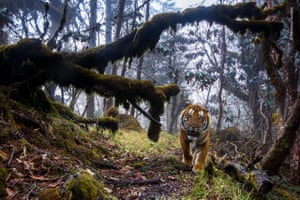 In a remote forest, high in the Himalayas of central Bhutan, a Bengal tiger fixes his gaze on the camera.