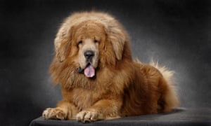In 2013 a Chinese zoo put a Tibetan mastiff on display in place of a lion.