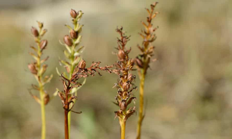 Rust-coloured pods of the common spotted-orchid split open down their length like miniature bamboo lanterns.