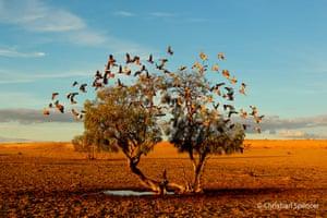 Galahs on a tree