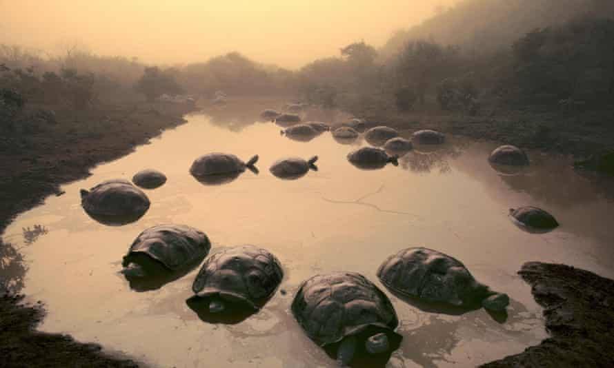 Tortoises at dawn in the Galápagos Islands.