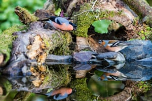 A male bullfinch challenges a male chaffinch at a garden pool in mid Wales, UK