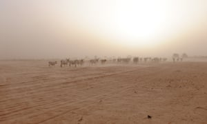 A herd of cattle walks through the near-desert landscape outside Goulokum, Senegal.