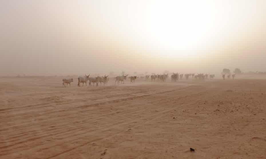 A herd of cattle walks through the near-desert landscape outside Goulokum, Senegal.