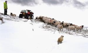 Hill farmer and sheep