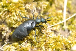 The oil beetle
