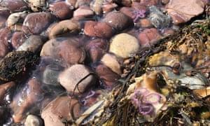 Moon jellyfish, Shieldaig, Wester Ross