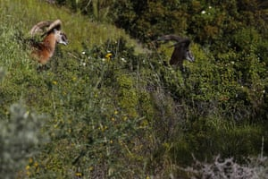 Cyprus's endangered mouflon sheep is one of many rare plant and animal species to have flourished a inside UN buffer zone that cuts across the ethnically cleaved Mediterranean island state. Devoid of people since a war in 1974 that spawned the country's division, this no-man's land has become an unofficial wildlife reserve