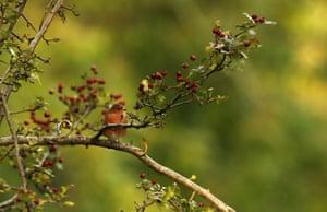 A robin perches on a branch in Phoenix Park, Dublin, Ireland