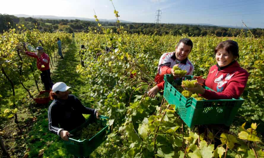 Romanian workers harvesting grapes in Sussex.