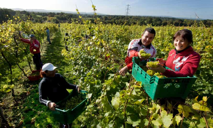 Romanian workers harvest the grape crop in in Sussex.