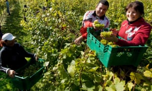 Romanian workers harvest grapes in a Sussex vineyard