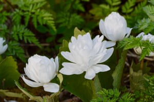 Double bloodroot flowers
