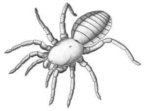 Smaller than a stamp and sporting eight legs, large fangs and a distinctly portly body, the spindly 305 million-year-old creature is the closest known species,relative - living or extinct - to spiders