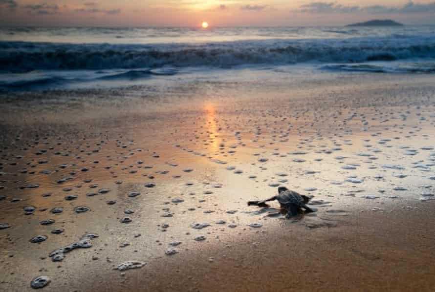 A teatherback turtle crossing a beach towards the sea at sunrise