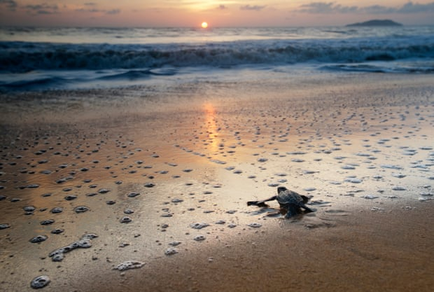 The sex of a leatherback turtle is determined while the egg incubates in sand. Photograph: Graham Eaton/WWF