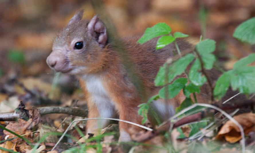 Red squirrel with leprosy on its ear and muzzle