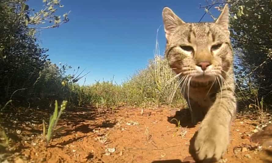 Feral cats have being implicated in at least 25 mammal extinctions in Australia.