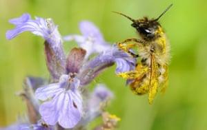 Red Mason Bee (Osmia bicornis) female on Bugle (Ajuga reptans)