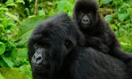 Female gorilla and baby in the Republic of the Congo