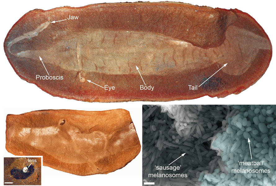 A fossil of the Tully Monster, Tullimonstrum, showing fossil melanosomes.