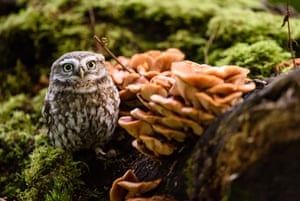 A little owl among some woodland mushrooms, Yorkshire, UK