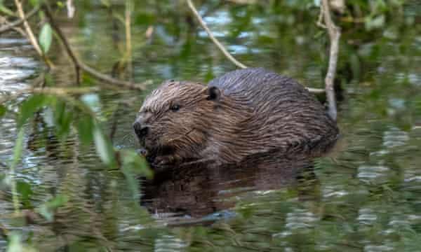 A beaver in Scotland.