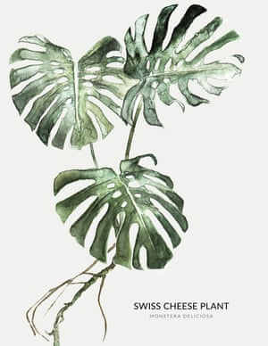 A SWISS CHEESE PLANT from the book Urban Botanics by Emma Sibley and illustrated by Maaike Koster.