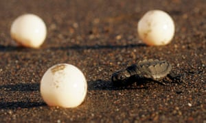 A baby Olive Ridley sea turtle crawls to the sea past discarded turtle eggs at Ostional beach on the northern Pacific coast of Costa Rica, Tuesday, Nov. 19, 2007. The community members of Ostional are allowed by the government to harvest up to one million sea turtle eggs to sell throughout Costa Rica. Ostional is one of a handful of beaches around the world where the Olive Ridley sea turtle arrives in mass to lay their eggs, with more than 100 million eggs laid over the week long nesting season. (AP Photo/Kent Gilbert)