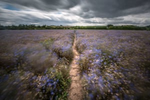 A long exposure shows movement from the wind in a cornflower field