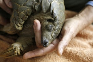 A pangolin recovers from anaesthetic at the Johannesburg wildlife veterinary hospital in South Africa, after being rescued from poachers in a sting operation