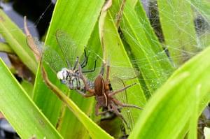 A fen raft spider female with dragonfly prey