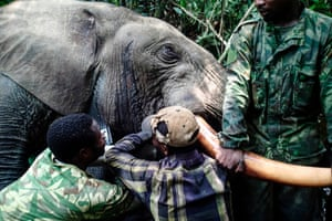 Rangers fit a hi-tech GPS tracker to an elephant in the Mwagna national park, in north-eastern Gabon, as part of a new programme to thwart poachers