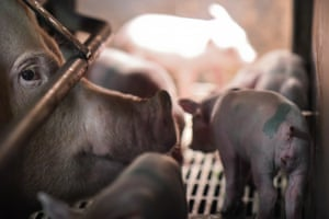 After piglets are born, the sows are kept in farrowing crates where the young can feed.