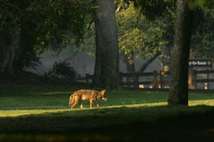 A coyote walks through Griffith Park, the nation's largest urban park, in Los Angeles, California.