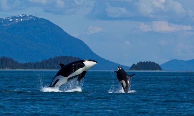 Tranquil setting and a seafood meal plan: the retirement home for whales