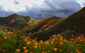 Poppies on the hills of Walker Canyon with the charred hills from the Holy Fire in the background
