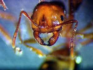 Red fire ants pose a significant threat to agriculture and the environment