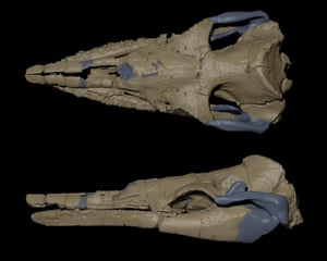 Digital reconstruction of the skull of 'Alfred' the Aetiocetid (fossil whale). Specimen held at the Museum Victoria, Melbourne.