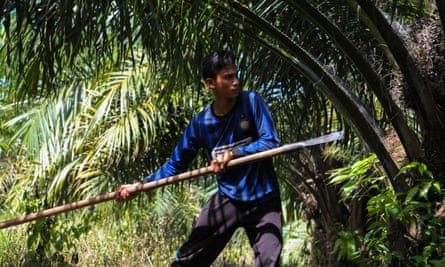 A man harvests palm fruits at a plantation in Aceh province, Indonesia