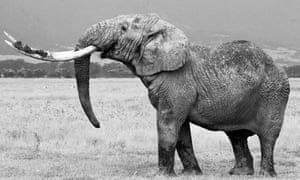 African elephant bull (Loxodonta africana) with big tusks.
